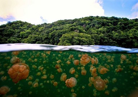 Mỗi ngày có hàng triệu con sứa di chuyển vào trong hồ nhưng trong 2 năm1998 đến năm 2000, không thể tìm thấy bất kỳ một cá thể sứa nào ở đây.
